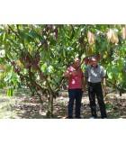 Biji Kakao Unggu F1, Sumatera Barat