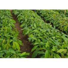 Bibit Kakao ICCRI 08H - Blitar, Jawa Timur